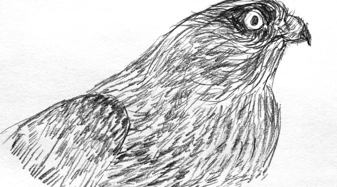 3 Hawk drawings