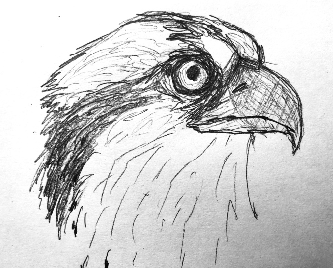 Osprey sketches 12/8/2018