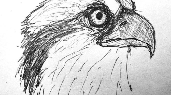 Osprey sketches 12/8/2018
