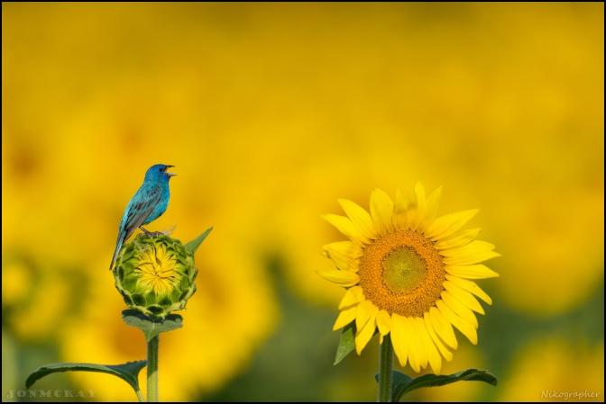 Indigo Bunting in sunflowers